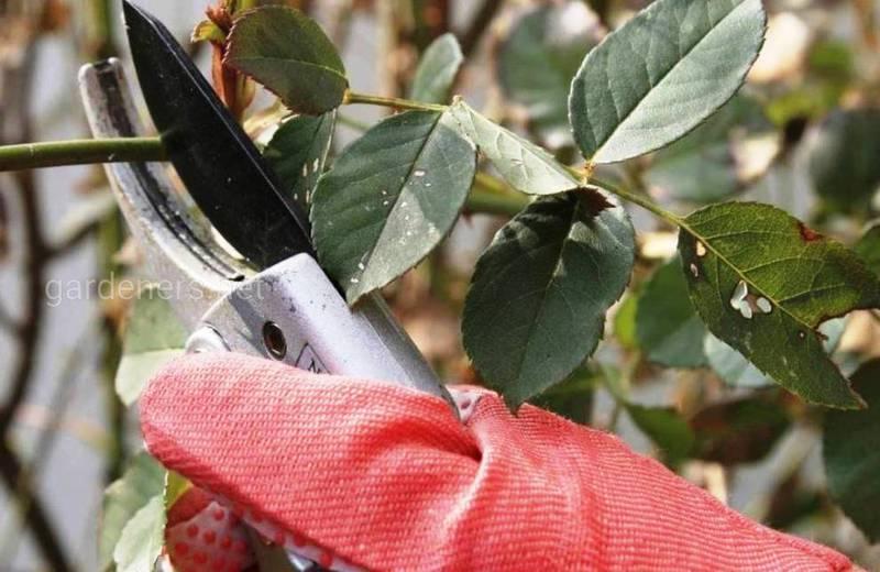 Советы по легкой и успешной обрезке кустовых роз