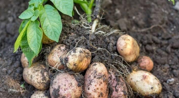 ТОП-8 причин неурожая картофеля