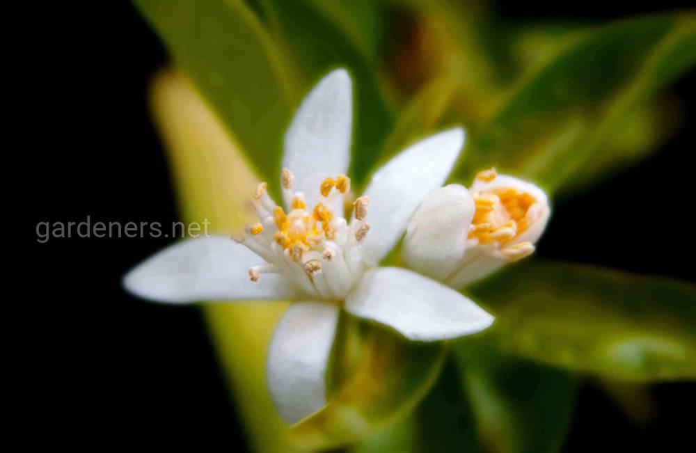 цветение клементина