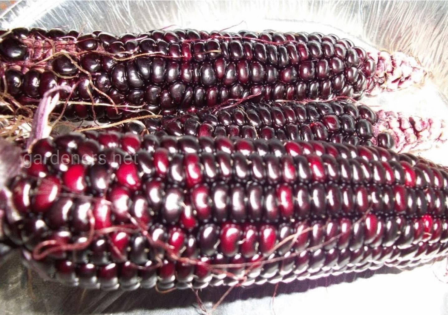 Hopi Blue кукуруза.jpg