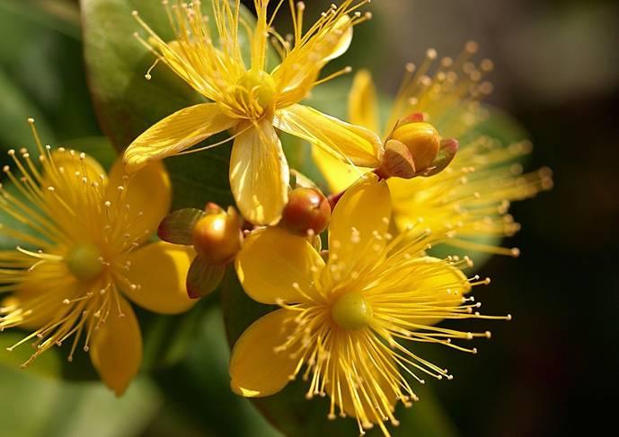 Які лікарські рослини можливо вирощувати самостійно?