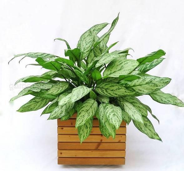 Аглаонема: выносливое растение, пышная листва которой украсит даже самый обычный уголок