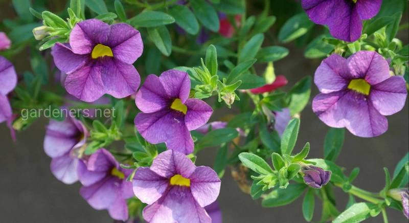 петуния - цветы самосевы