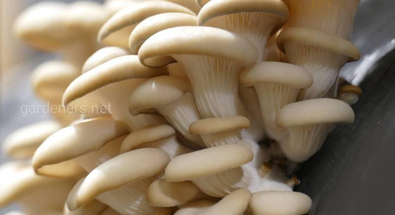 Выращивание грибов в теплице 2