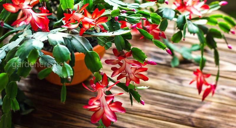 Какой уход и забота необходимы рождественскому кактусу?