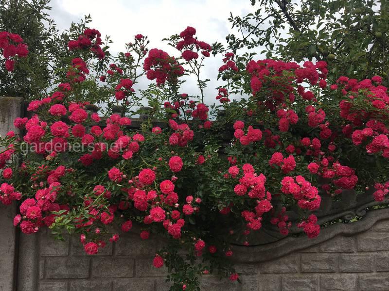 Как правильно выбрать место и грунт для плетистых роз?