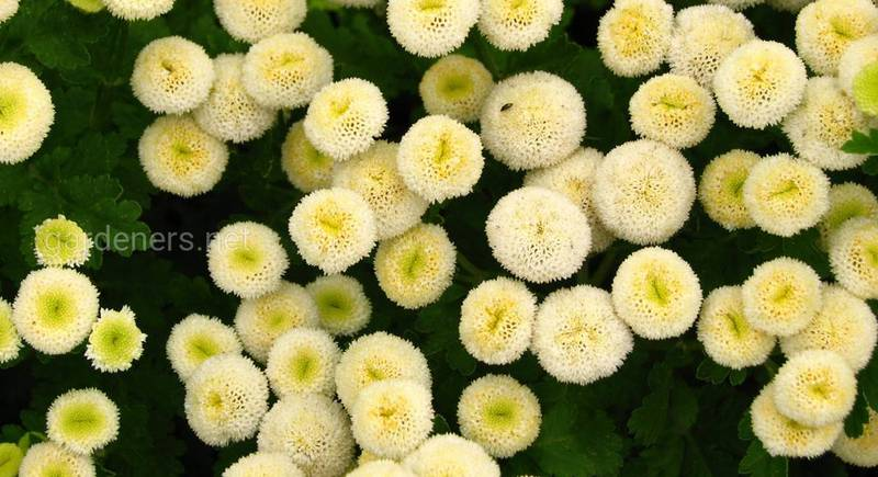 Пиретрум в цветнике: выращивание и уход