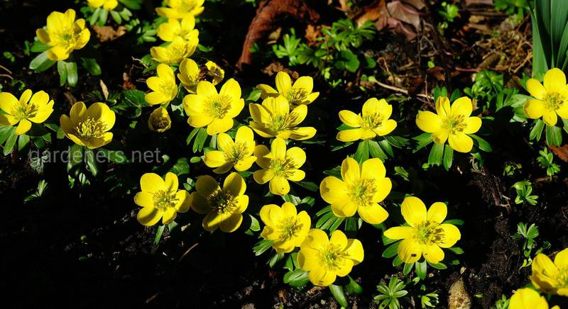 ТОП-9 растений, которые зацветают раньше остальных