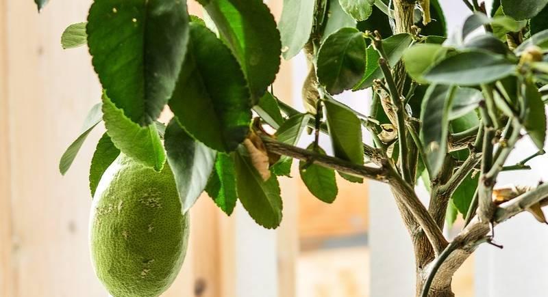 lemon-tree-2111048_1920.jpg