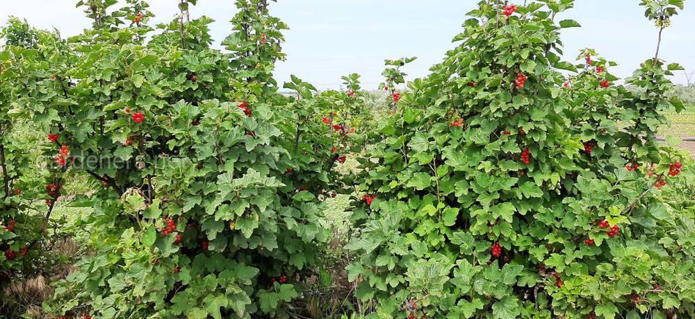 Смородина (лат. Ribes)