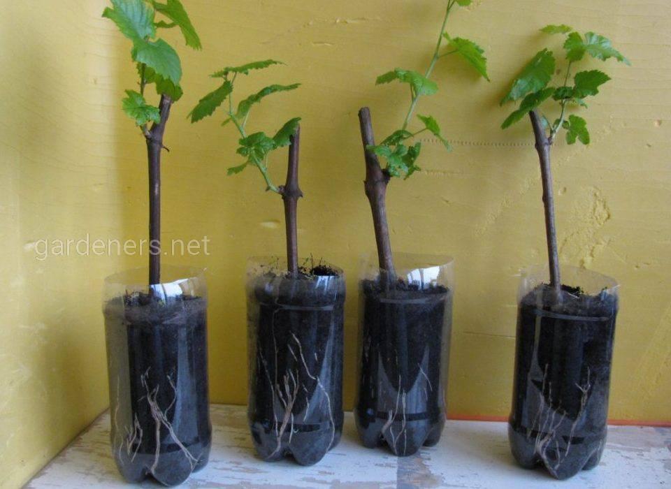 размножение винограда зимой
