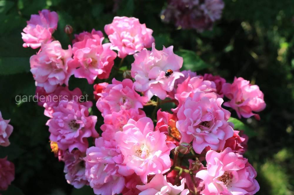 Цветение роз в июне: тонкости ухода