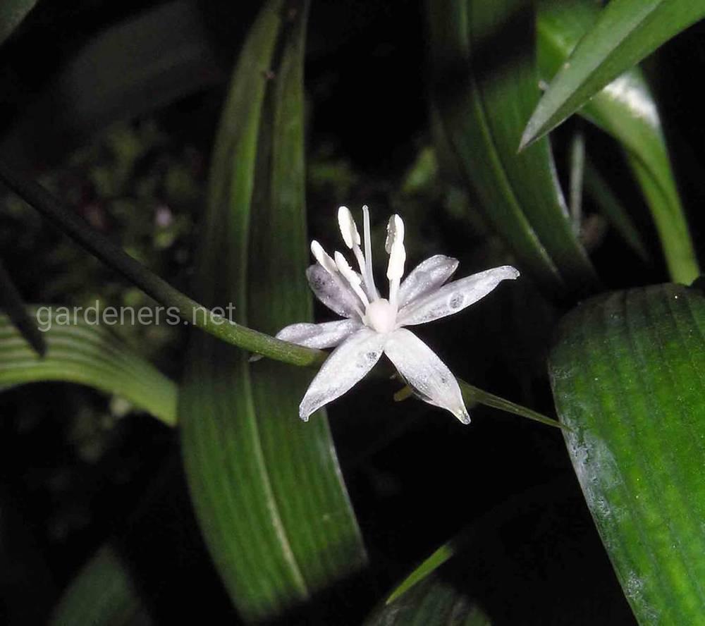 Smilacina trifolia