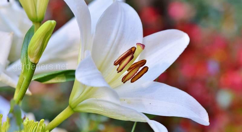 Лілії - це прекрасні квіти, які стануть прикрасою в саду