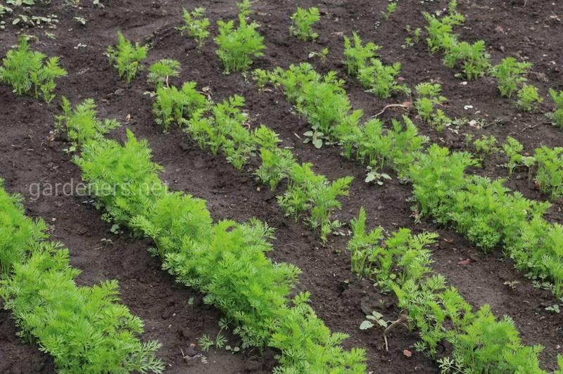 Как выращивать морковь осенью?