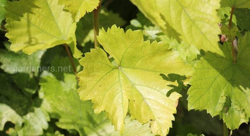 Из-за чего возможно пожелтение листовой пластины винограда?
