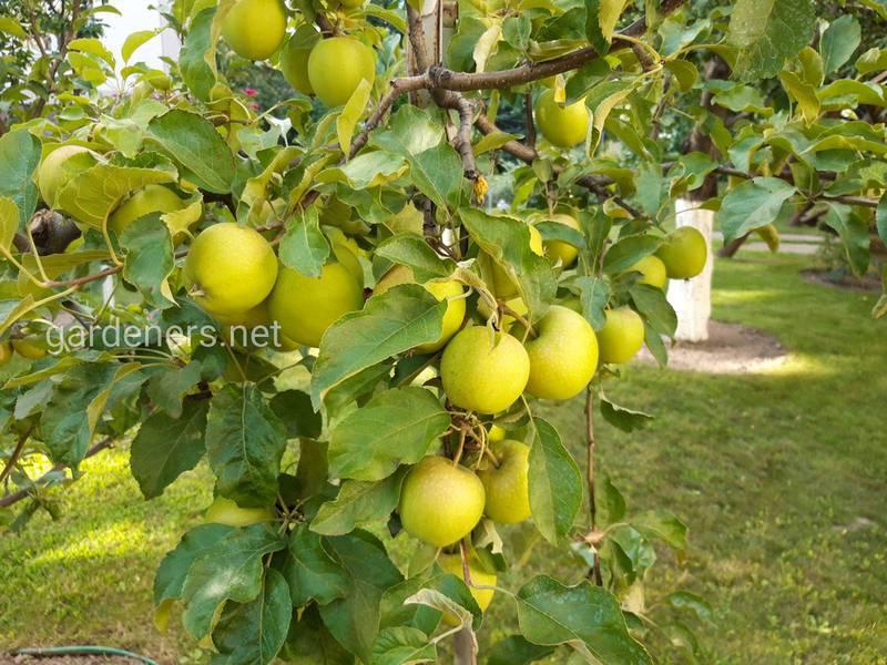 Яблоки и готовка