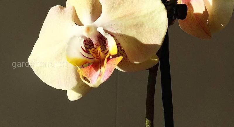 Орхидея - это древнейший и очень прекрасный цветок.jpeg