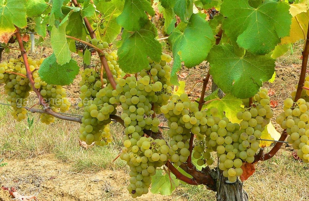 Сорт винограда для вина Совиньон Блан