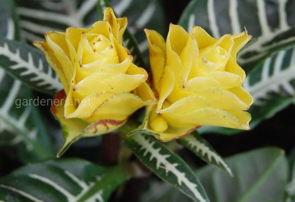 Афеландра цветение