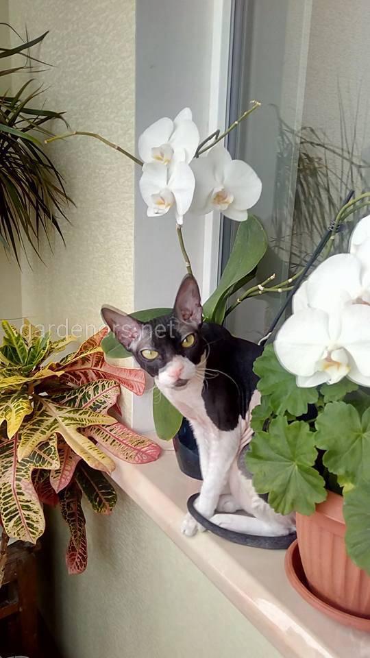 Кошачья Орхидея :)