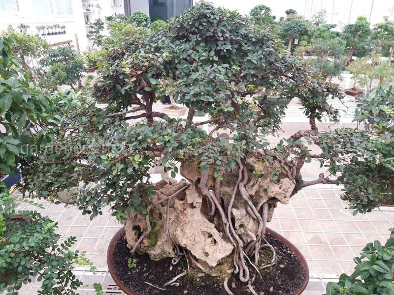 Як стати експертом у вирощуванні бонсай?