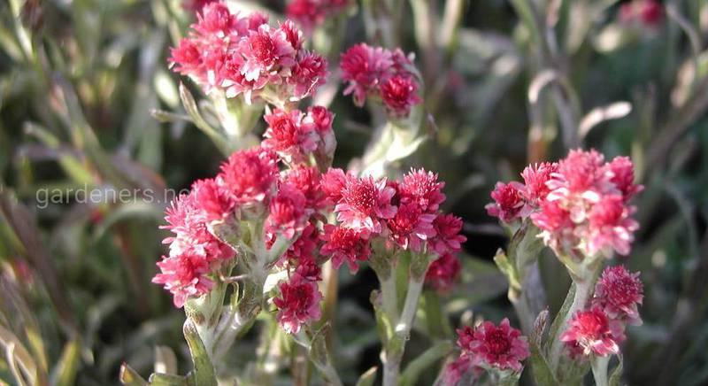 Антенарія або котяча лапка: види і сорти пухнастої сивої багаторічної рослини