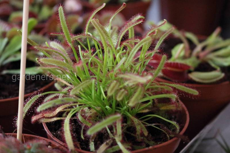 Чому кімнатні рослини в'януть? Причини