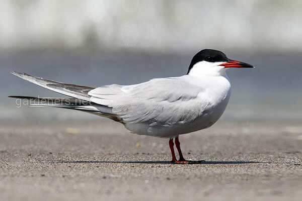 Птица Речная крачка