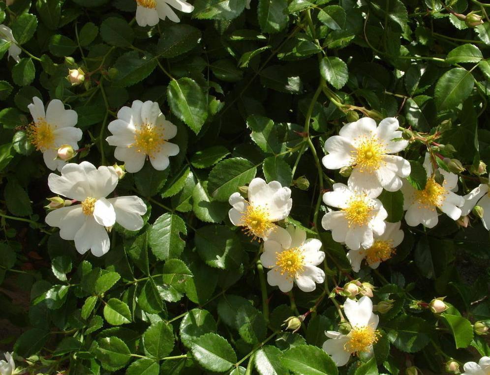Сорт почвопокровной розы Weisse Immensee