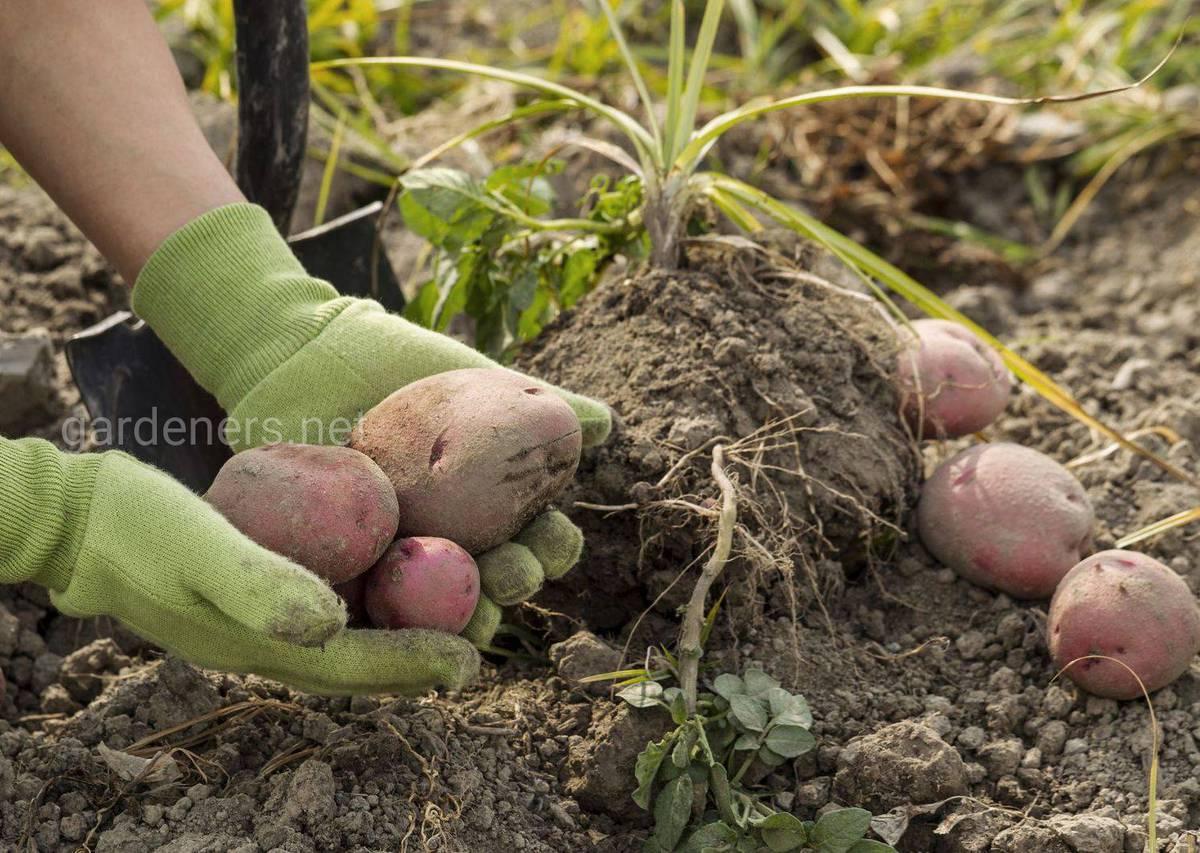 Сбор и отбор картофеля