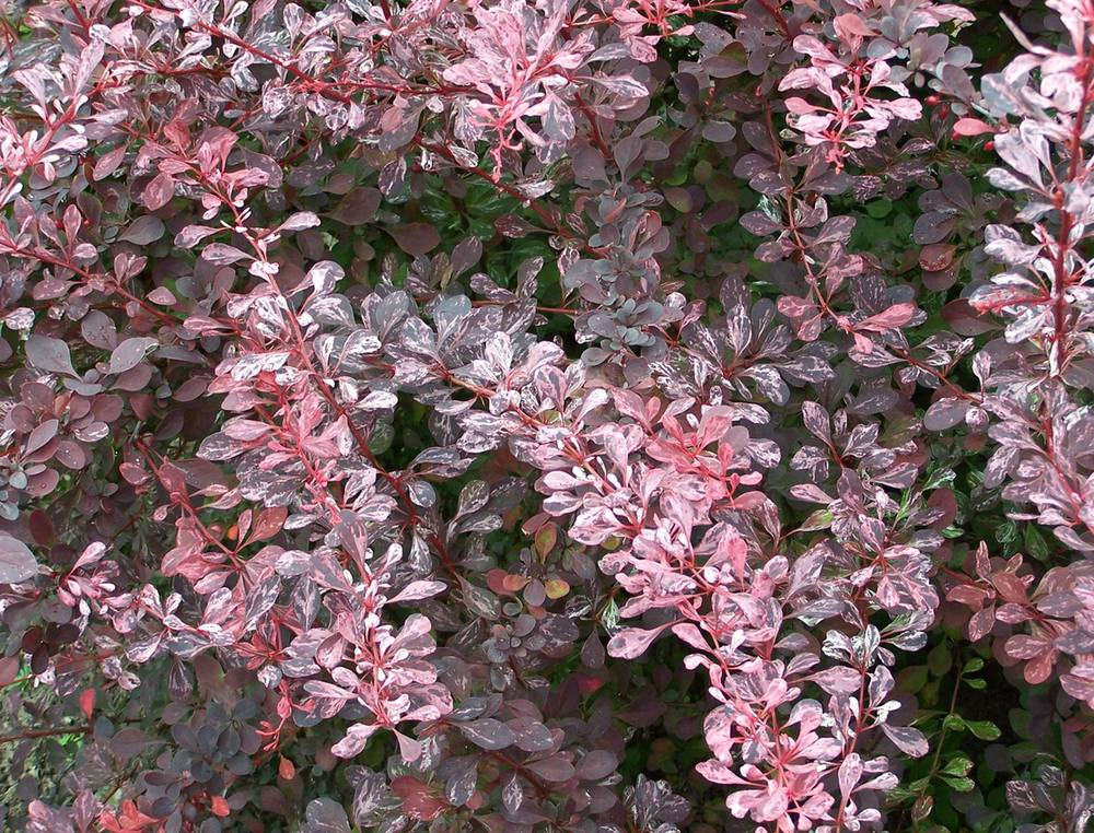 5-berberisthunbergii-rose-glow.jpg