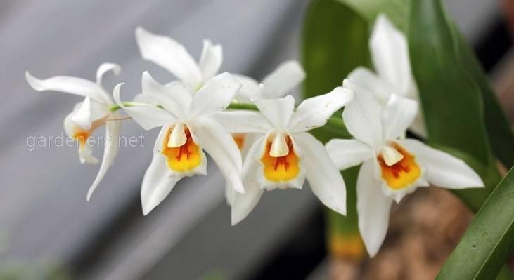 Орхідея Целогіна: догляд та підживлення