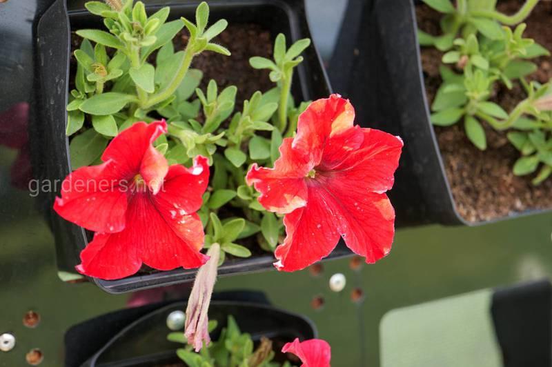 Как правильно поливать и подкармливать летние цветы в горшочках?