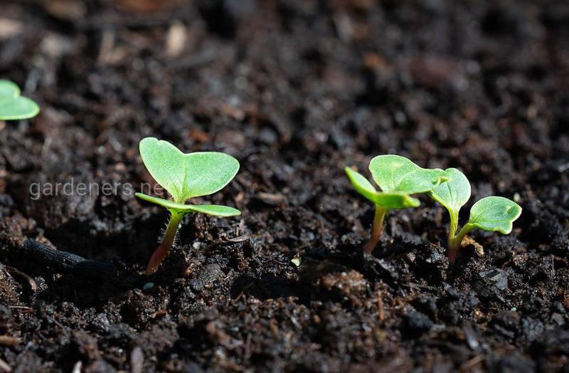 Выбор семян для посадки редиса.