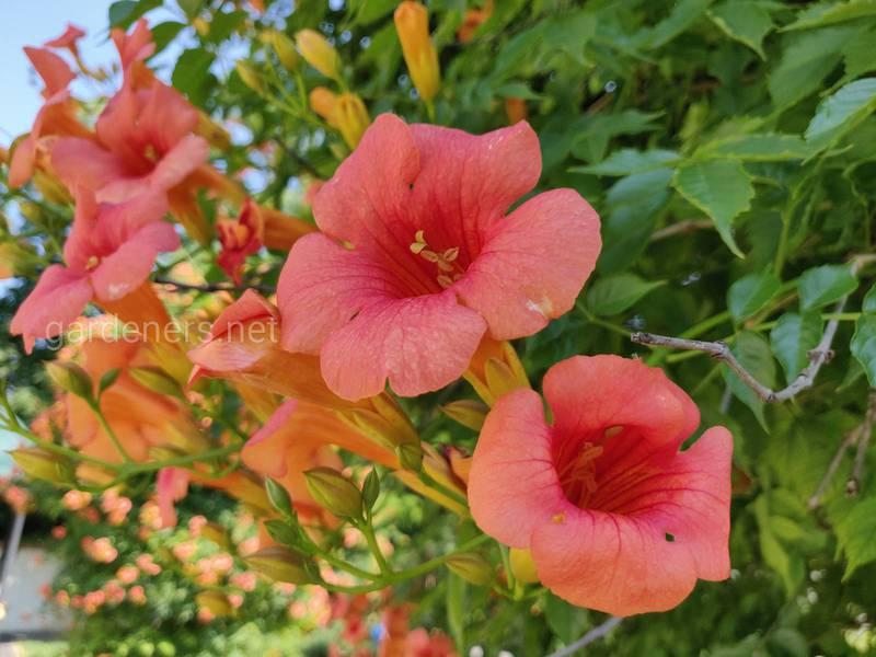 Кампсис - природна квіткова огорожа в вашому саду