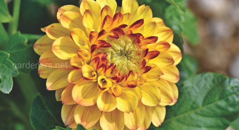 Чарующие георгины: как вырастить крупные и здоровые цветы