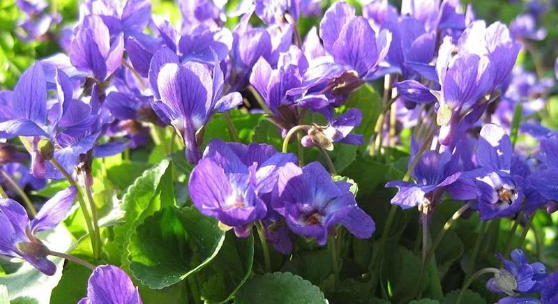 Фиалка душистая - полезная красавица в нашем саду