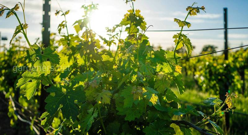 укрытие винограда.jpg