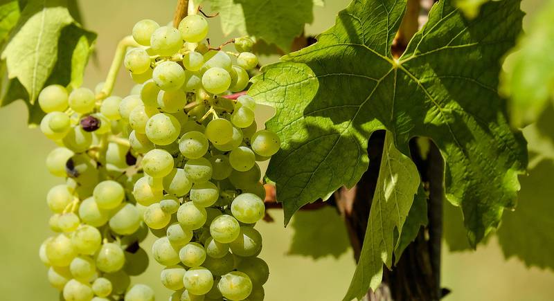 grapes-1611089_1920.jpg