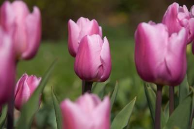 Тюльпан простой ранний