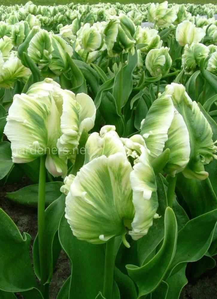 зеленоцветковый попугайный тюльпан