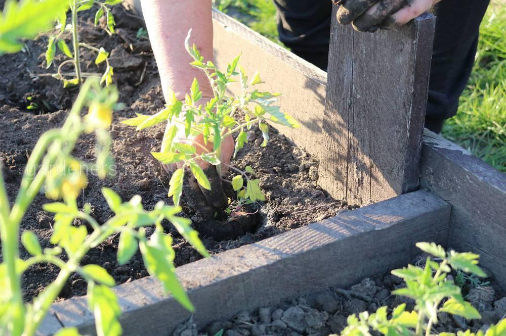 Переменчивость погоды и влияние на томаты