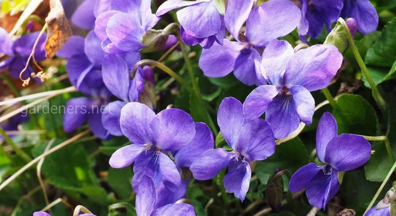 Фиалка садовая: Как поселить в саду прекрасные первоцветы. Посадка и уход