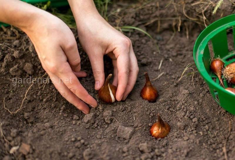 Как посадить осенние луковицы цветов?