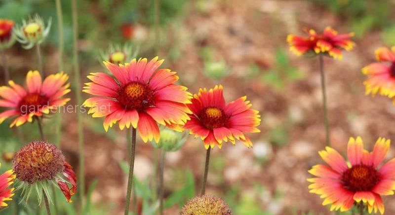 Гайлардия – необычайное украшение цветника. Описание сортов и видов гайлардии