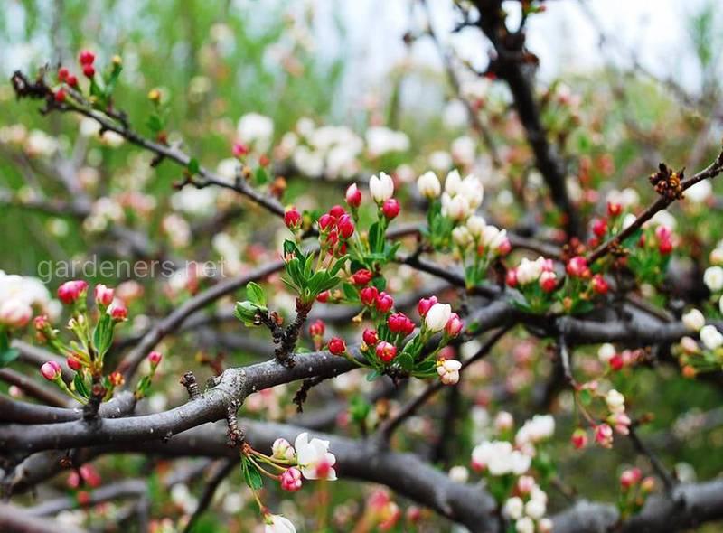 Доки фруктові дерева можуть плодоносити? Стадії