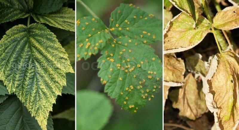 Почему желтеют листья у малины и что с этим делать.jpg