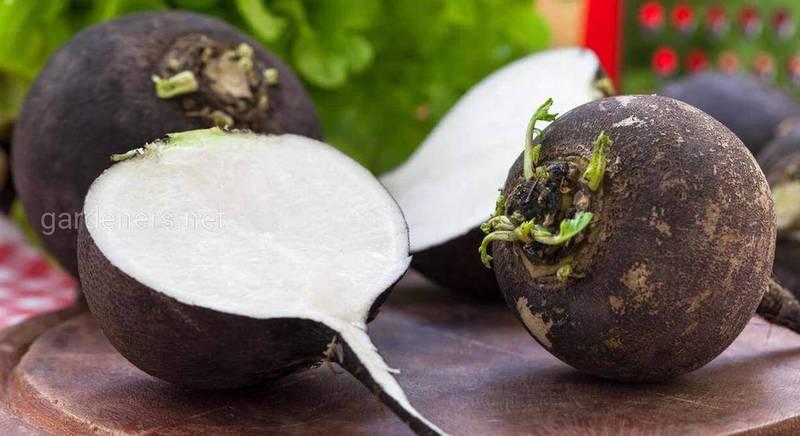 Як вирощувати чорну редьку, щоб по-справжньому насолодитися її пряним смаком?