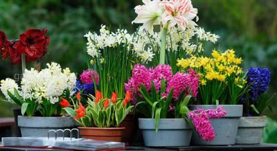 луковичные цветы.jpg